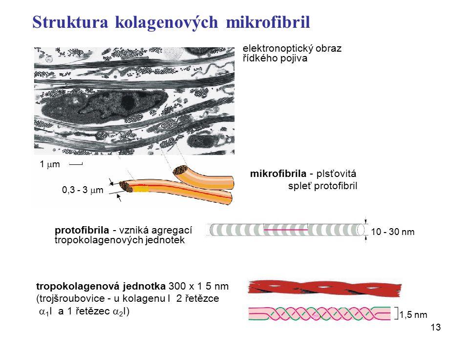 13 elektronoptický obraz řídkého pojiva mikrofibrila - plsťovitá spleť protofibril protofibrila - vzniká agregací tropokolagenových jednotek tropokolagenová jednotka 300 x 1 5 nm (trojšroubovice - u kolagenu I 2 řetězce  1 I a 1 řetězec  2 I) 10 - 30 nm Struktura kolagenových mikrofibril 1  m 0,3 - 3  m 1,5 nm