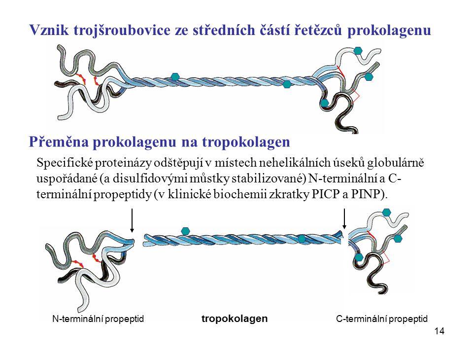 14 Přeměna prokolagenu na tropokolagen Vznik trojšroubovice ze středních částí řetězců prokolagenu N-terminální propeptid tropokolagen C-terminální propeptid Specifické proteinázy odštěpují v místech nehelikálních úseků globulárně uspořádané (a disulfidovými můstky stabilizované) N-terminální a C- terminální propeptidy (v klinické biochemii zkratky PICP a PINP).