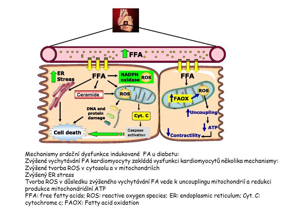 Mechanismy srdeční dysfunkce indukované FA u diabetu: Zvýšené vychytávání FA kardiomyocyty zakládá vysfunkci kardiomyocytů několika mechanismy: Zvýšené tvorba ROS v cytosolu a v mitochondriích Zvýšený ER stress Tvorba ROS v důsledku zvýšeného vychytávání FA vede k uncouplingu mitochondrií a redukci produkce mitochondriální ATP FFA: free fatty acids; ROS: reactive oxygen species; ER: endoplasmic reticulum; Cyt.