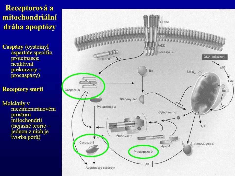 Caspázy (cysteinyl aspartate specific proteinases; neaktivní prekurzory - procaspázy) Receptory smrti Molekuly v mezimemránovém prostoru mitochondrií (nejasné teorie – jednou z nich je tvorba pórů) Receptorová a mitochondriální dráha apoptózy