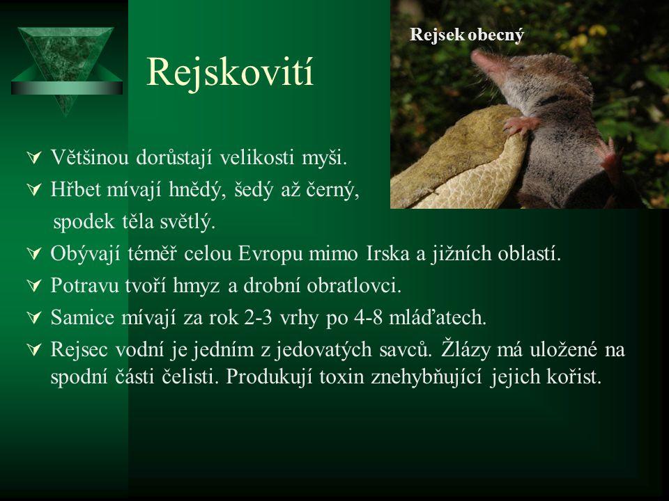 Bělozubka bělobřichá Rejsek obecný