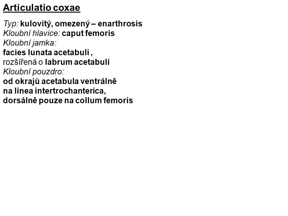 Articulatio coxae Typ: kulovitý, omezený – enarthrosis Kloubní hlavice: caput femoris Kloubní jamka: facies lunata acetabuli, rozšířená o labrum aceta