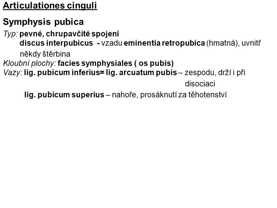 Articulationes cinguli Symphysis pubica Typ: pevné, chrupavčité spojení discus interpubicus - vzadu eminentia retropubica (hmatná), uvnitř někdy štěrb