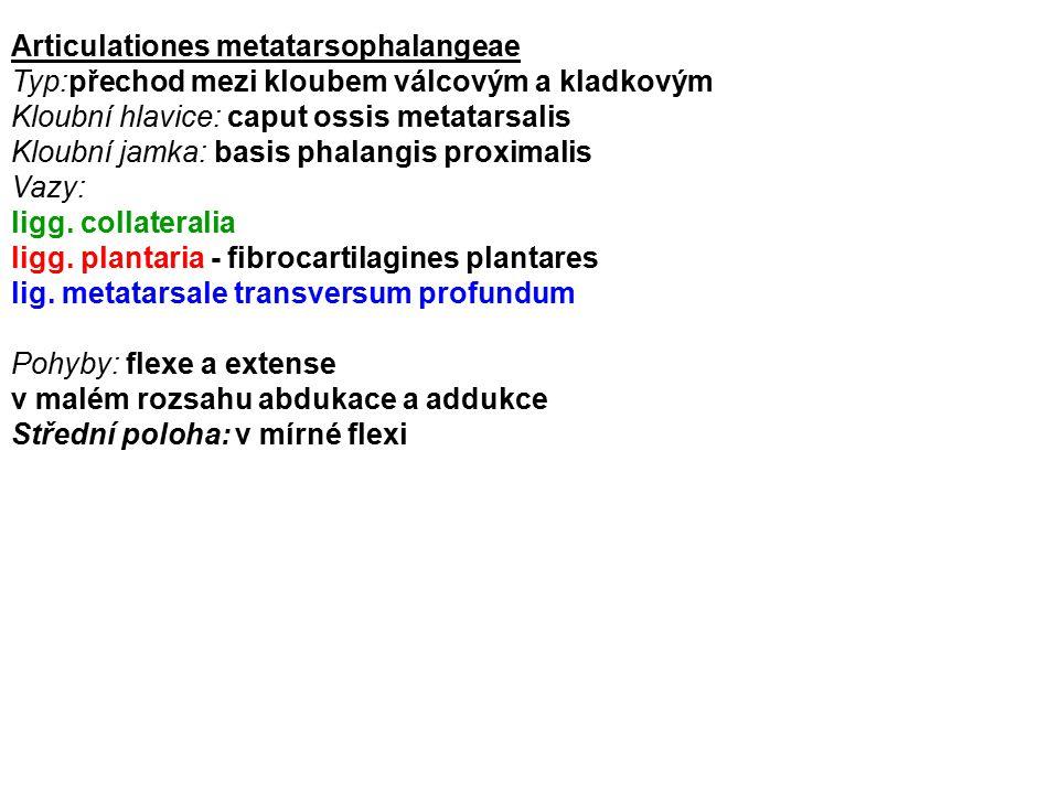 Articulationes metatarsophalangeae Typ:přechod mezi kloubem válcovým a kladkovým Kloubní hlavice: caput ossis metatarsalis Kloubní jamka: basis phalan