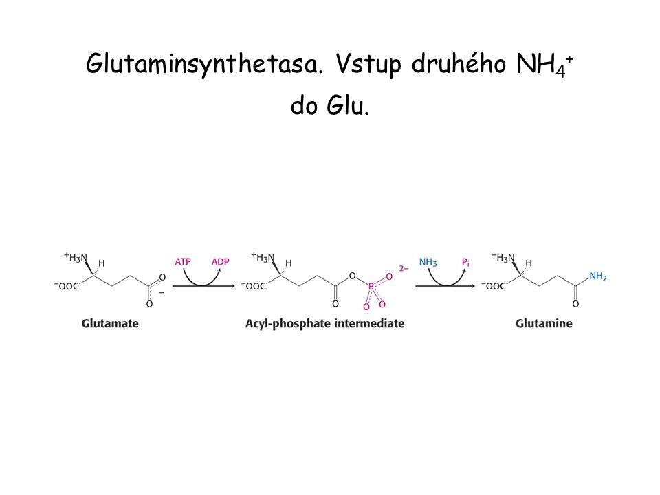 Glutaminsynthetasa. Vstup druhého NH 4 + do Glu.