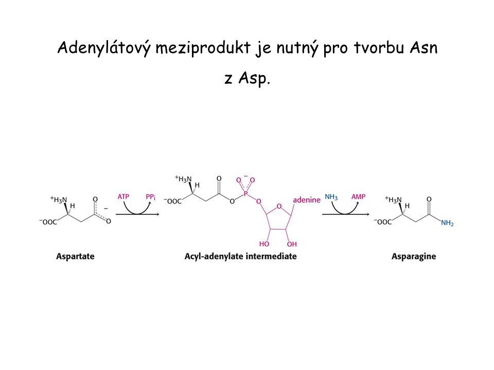 Adenylátový meziprodukt je nutný pro tvorbu Asn z Asp.