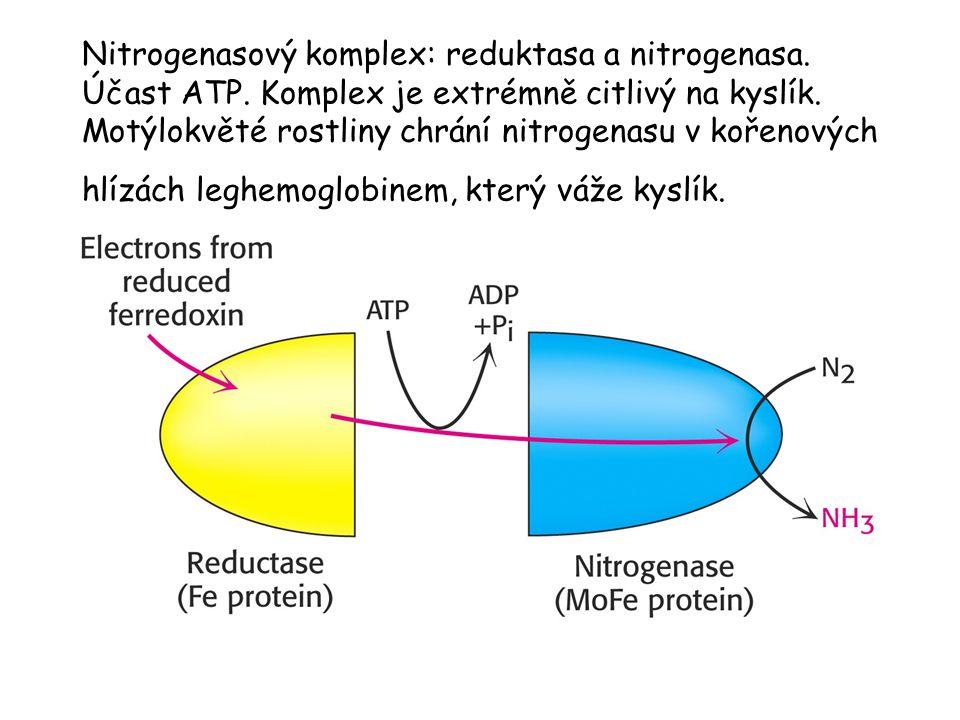 Nitrogenasový komplex: reduktasa a nitrogenasa. Účast ATP. Komplex je extrémně citlivý na kyslík. Motýlokvěté rostliny chrání nitrogenasu v kořenových