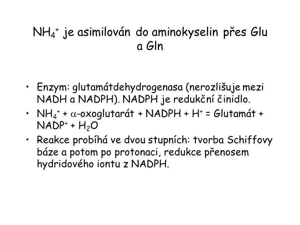 NH 4 + je asimilován do aminokyselin přes Glu a Gln Enzym: glutamátdehydrogenasa (nerozlišuje mezi NADH a NADPH). NADPH je redukční činidlo. NH 4 + +