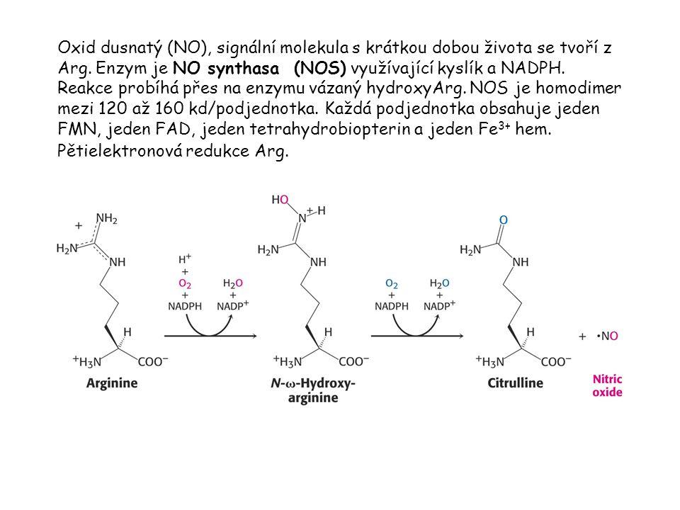 Oxid dusnatý (NO), signální molekula s krátkou dobou života se tvoří z Arg. Enzym je NO synthasa (NOS) využívající kyslík a NADPH. Reakce probíhá přes