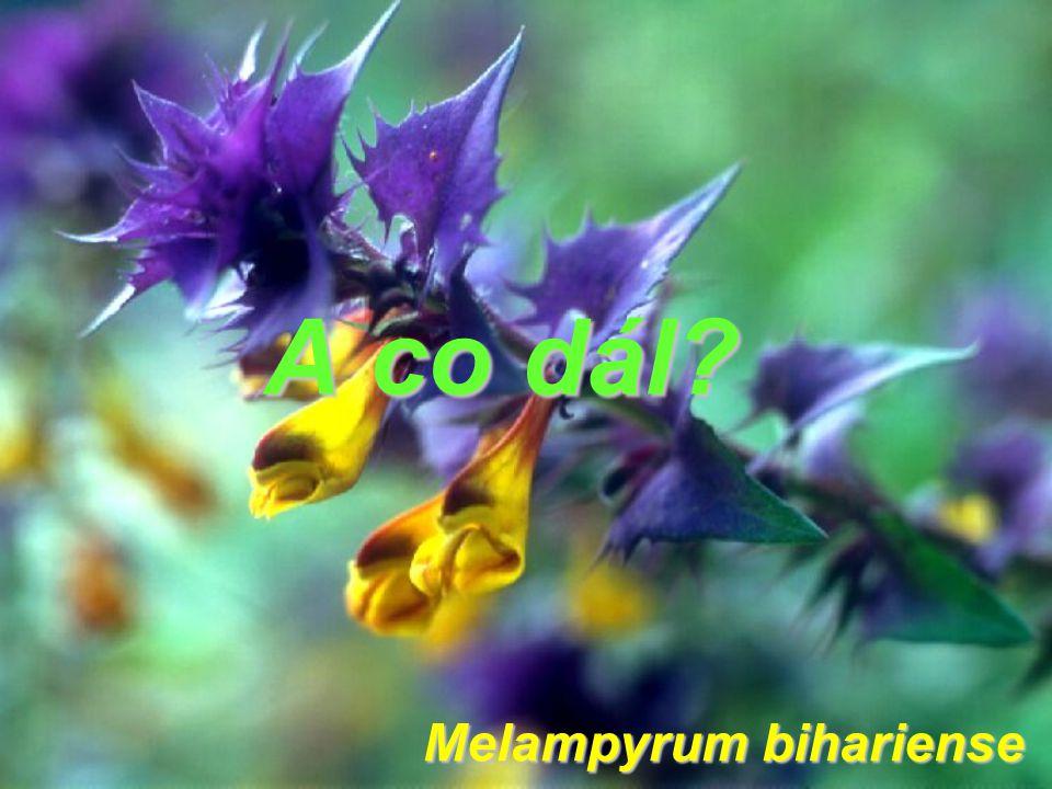 A co dál? Melampyrum bihariense