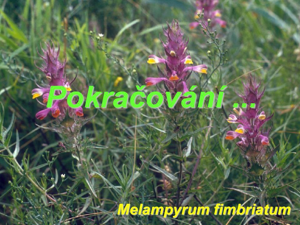 Pokračování... Melampyrum fimbriatum