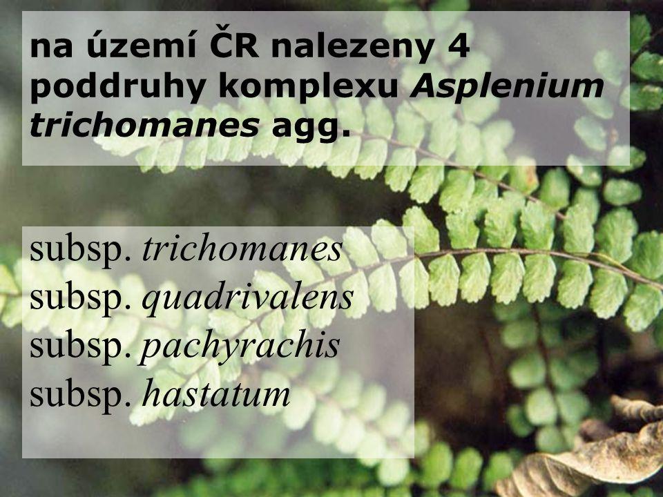 na území ČR nalezeny 4 poddruhy komplexu Asplenium trichomanes agg. subsp. trichomanes subsp. quadrivalens subsp. pachyrachis subsp. hastatum