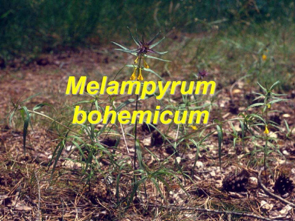 M. bohemicum M. nemorosum M. ×subalpinum