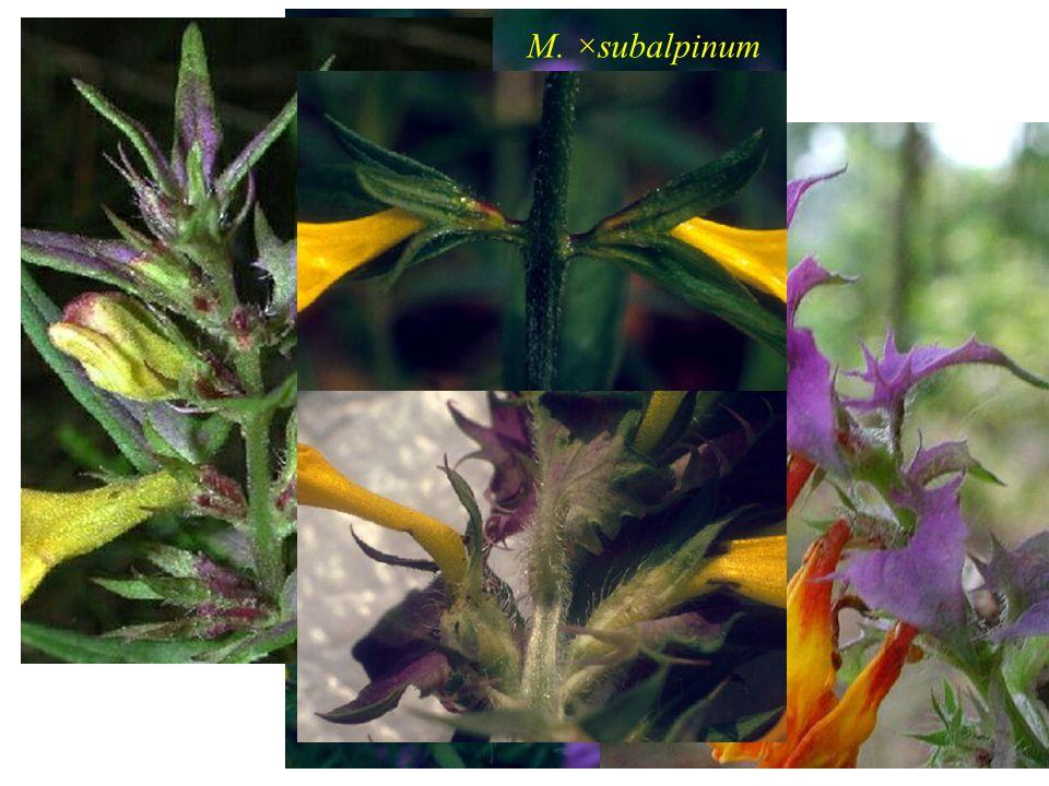 Centaurea stenolepis A. Kern. 2n = 22 Kříženci s C. jacea nebyli zjištěni