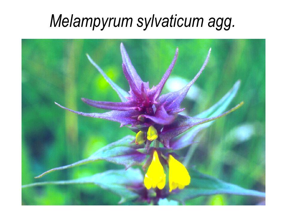 Melampyrum sylvaticum agg.