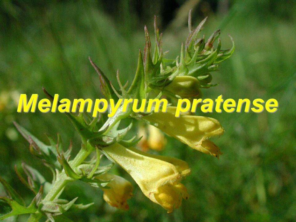 Melampyrum pratense 11 morfologických znaků