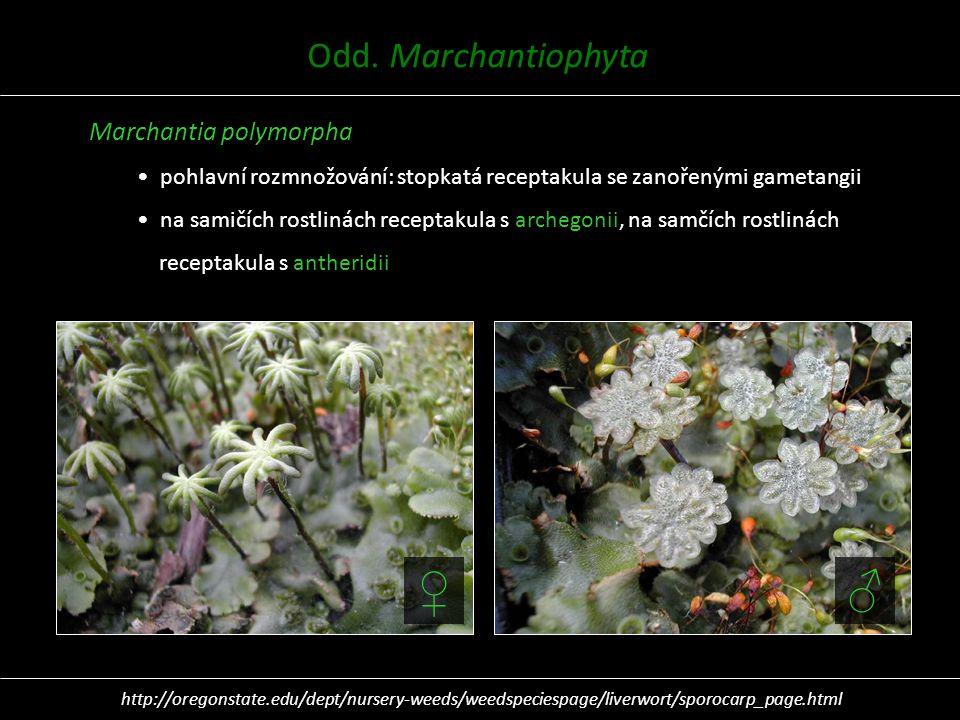 Marchantia polymorpha pohlavní rozmnožování: stopkatá receptakula se zanořenými gametangii na samičích rostlinách receptakula s archegonii, na samčích