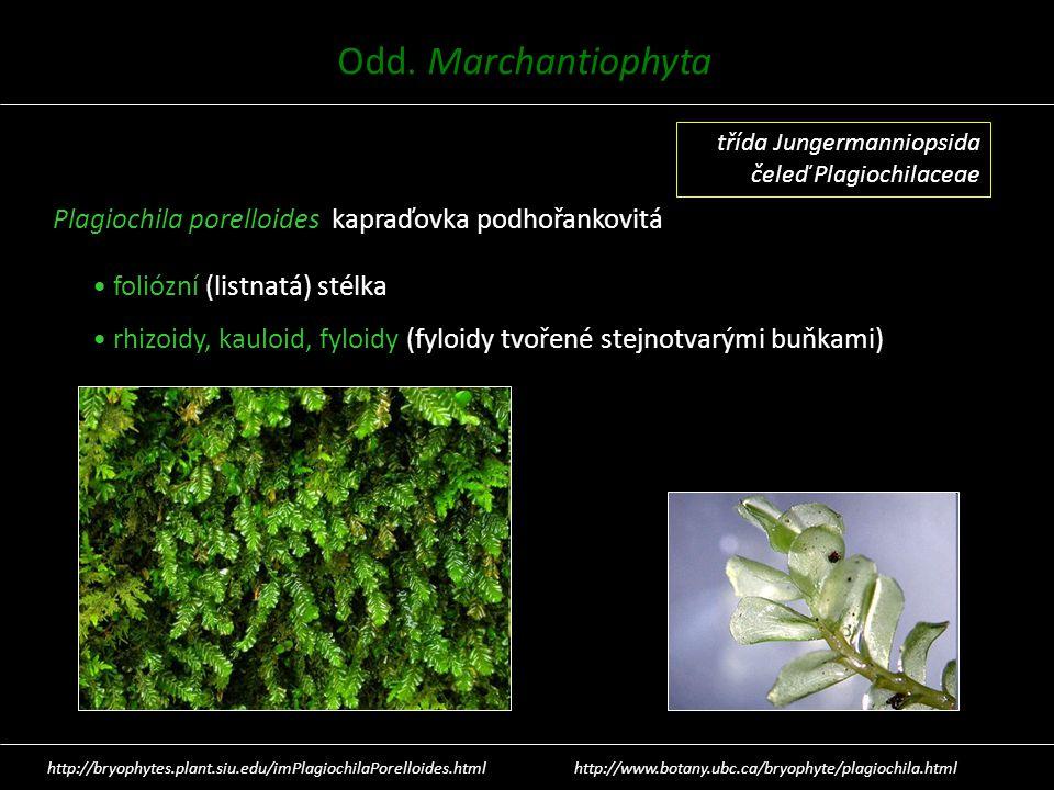Plagiochila porelloides kapraďovka podhořankovitá foliózní (listnatá) stélka rhizoidy, kauloid, fyloidy (fyloidy tvořené stejnotvarými buňkami) http:/