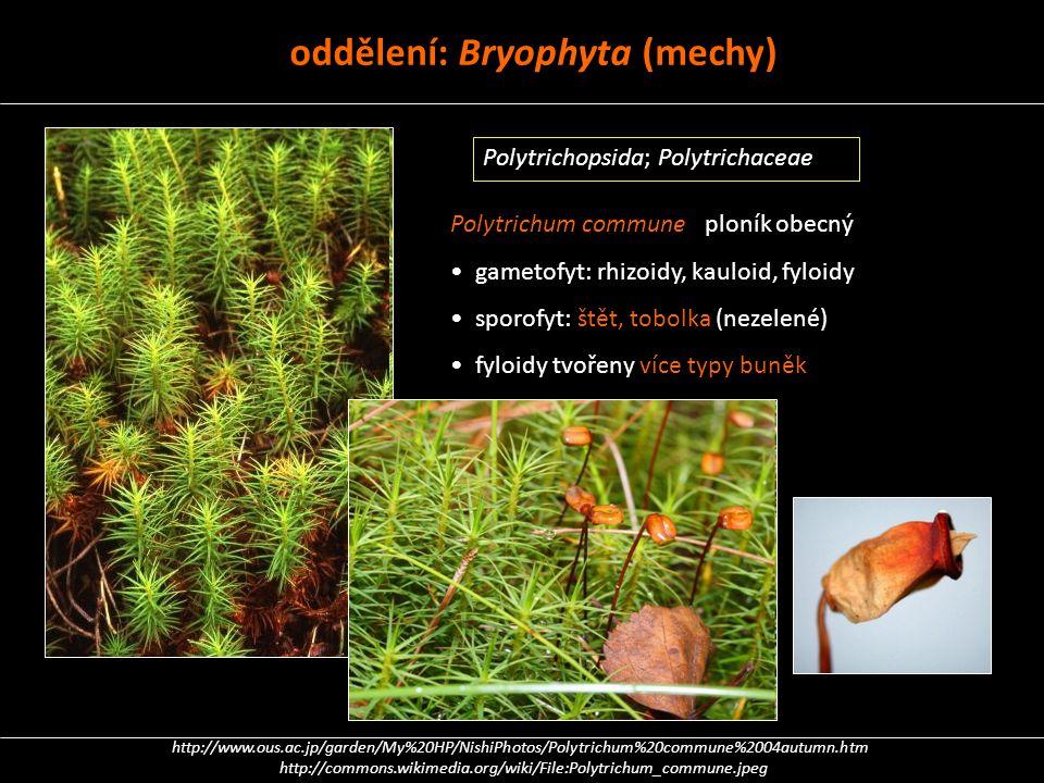 Polytrichum commune ploník obecný gametofyt: rhizoidy, kauloid, fyloidy sporofyt: štět, tobolka (nezelené) fyloidy tvořeny více typy buněk http://www.
