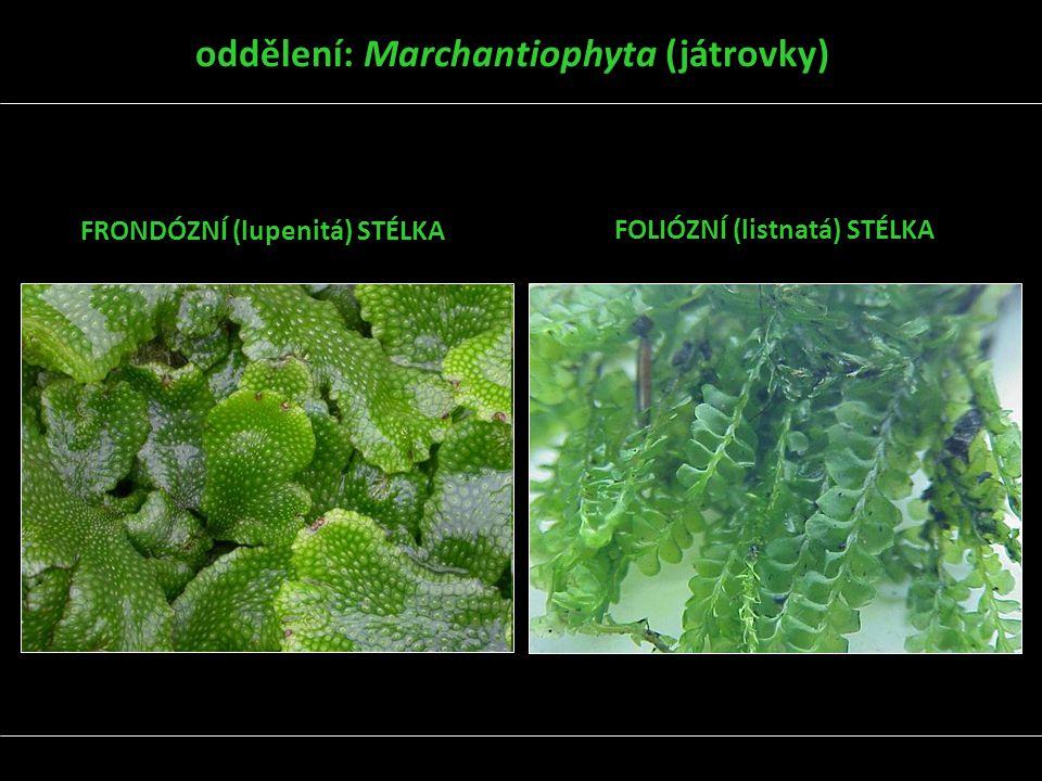 oddělení: Marchantiophyta (játrovky) FRONDÓZNÍ (lupenitá) STÉLKA FOLIÓZNÍ (listnatá) STÉLKA