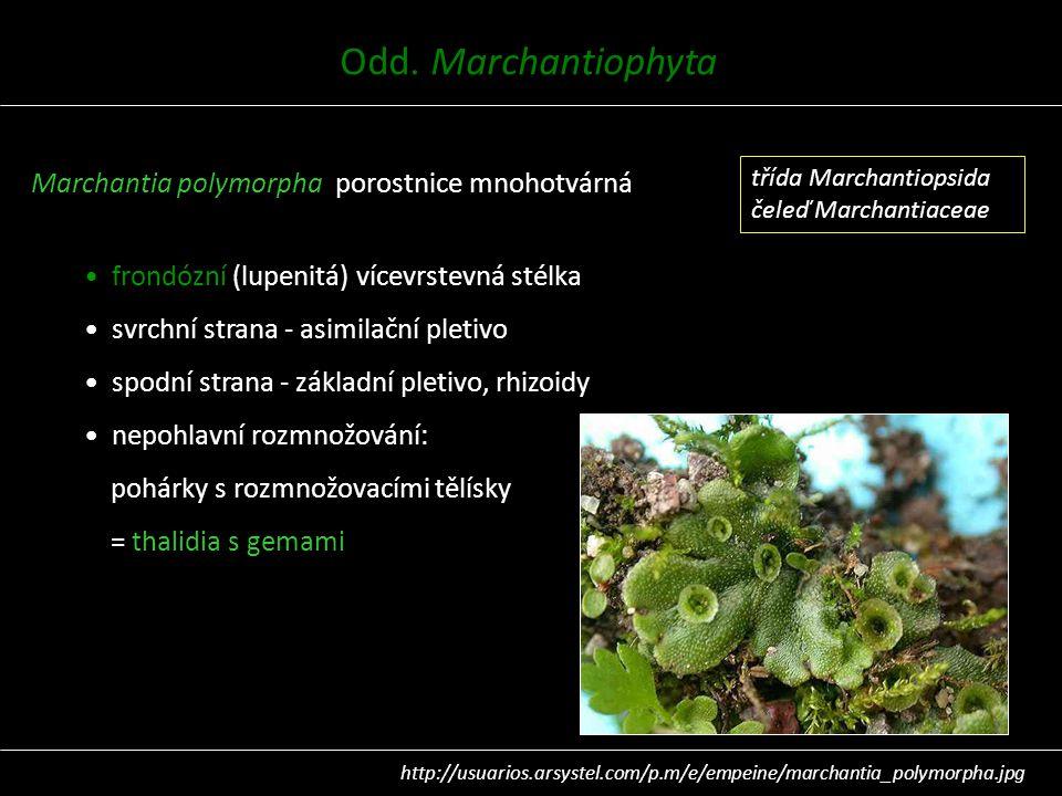 Marchantia polymorpha porostnice mnohotvárná frondózní (lupenitá) vícevrstevná stélka svrchní strana - asimilační pletivo spodní strana - základní ple