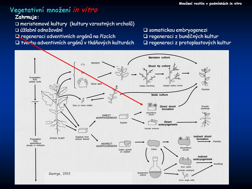 Množení rostlin v podmínkách in vitro in vitro Vegetativní množení in vitro  úžlabní odnožování  regeneraci odventivních orgánů na řízcích  tvorbu