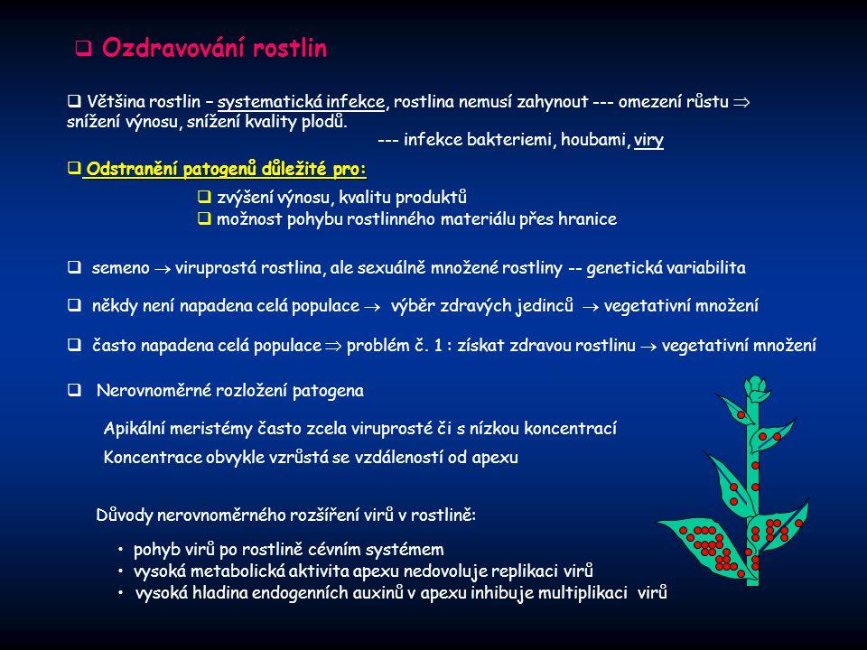 Ozdravování rostlin  Ozdravování rostlin  Většina rostlin – systematická infekce, rostlina nemusí zahynout --- omezení růstu  snížení výnosu, sníže