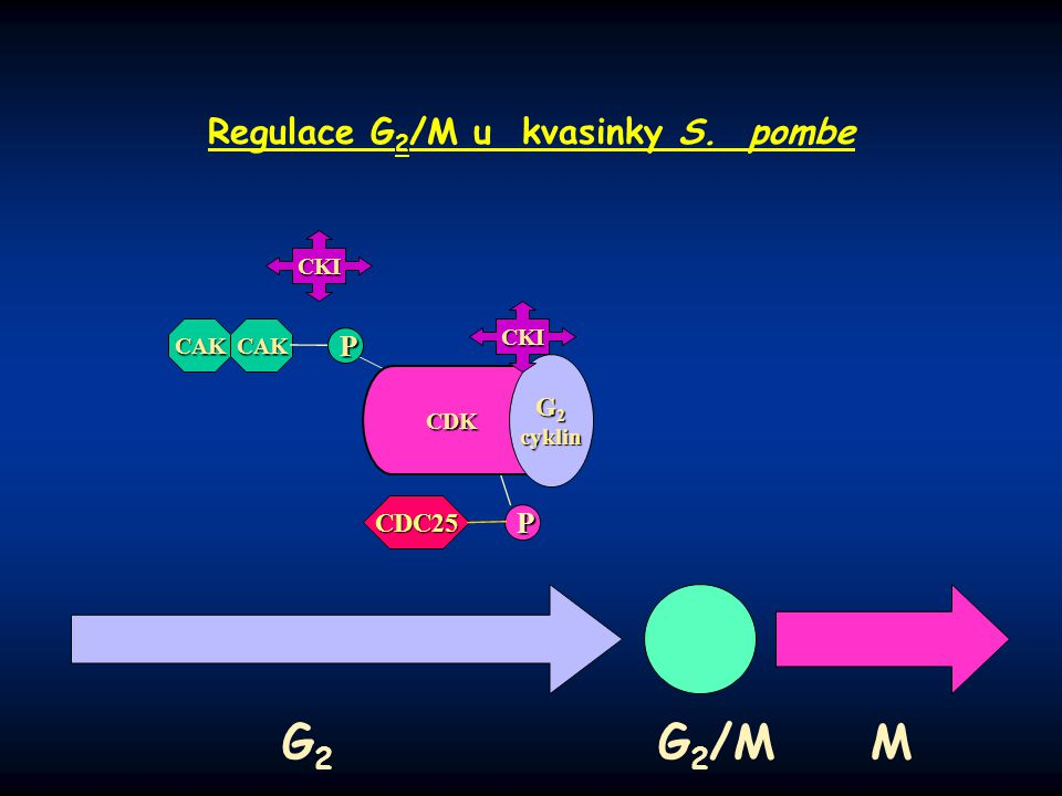 P PP P P CAK Regulace G 2 /M u kvasinky S. pombe G 2 G 2 /M M CDK G 2 cyklin CKI CKI P PP P CAK CDC25