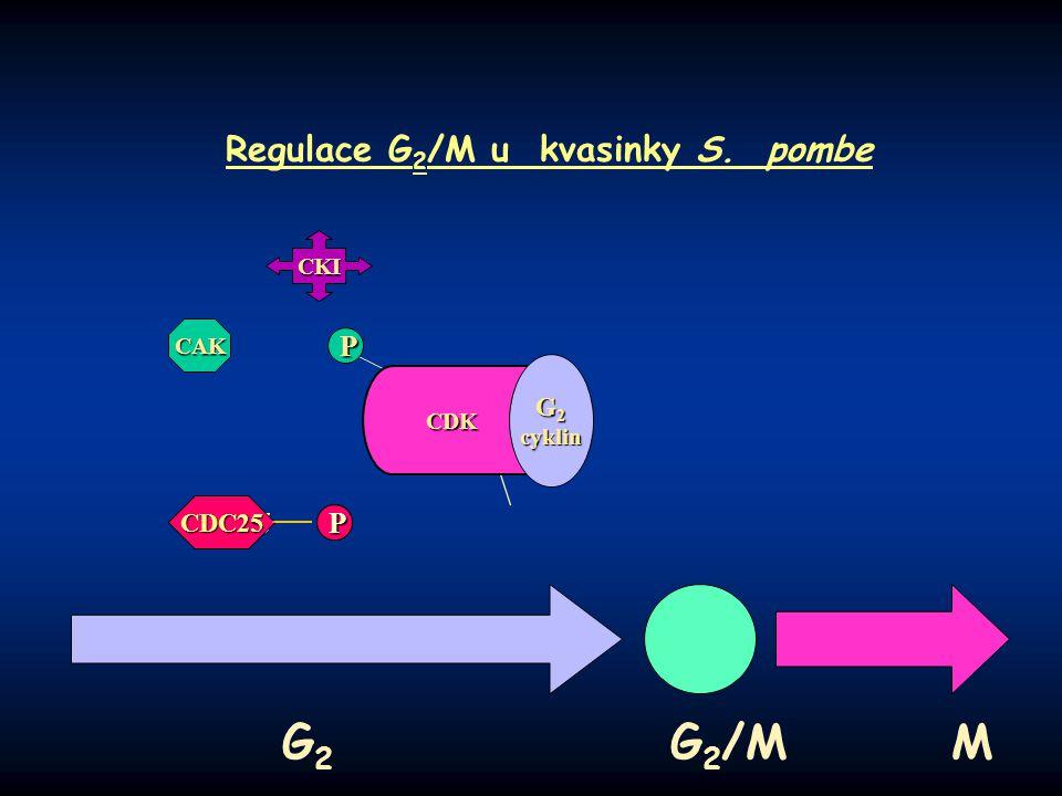 P PP P Regulace G 2 /M u kvasinky S. pombe G 2 G 2 /M M CDK G 2 cyklin CKI CAK P CDC25 P P P PP P CDC25