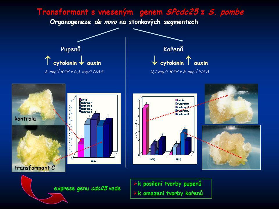 """kontrola transformant Exprese genu cdc25 vede:  k tvorbě pupenů de novo bez aplikace cytokininů Organogeneze na médiu bez růstových regulátorů Buněčné suspenzní kultury kontrola transformant cytokinin G2/M M CYCA/B CDK A/B P P P P CYCA/B CDK A/B P P CYCA/B CDK A/B P """"CDC 25 cytokinin Exprese genu cdc25 vede:  změně orientace buněčného dělení a tvaru buněk"""