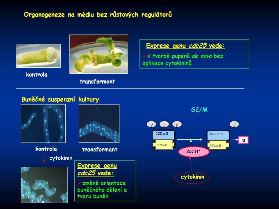 kontrola transformant Exprese genu cdc25 vede:  k tvorbě pupenů de novo bez aplikace cytokininů Organogeneze na médiu bez růstových regulátorů Buněčn