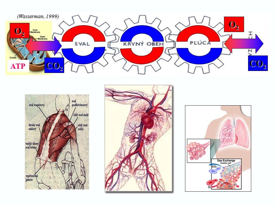 Typy svalových vláken  TYP I.– pomalá (slow oxidative)  TYP I.