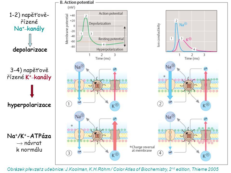 1-2) napěťově- řízené Na +_ kanály depolarizace 3-4) napěťově řízené K +_ kanály hyperpolarizace Na + /K + -ATPáza  návrat k normálu