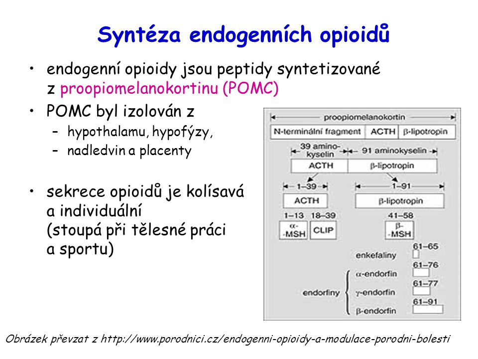 Syntéza endogenních opioidů endogenní opioidy jsou peptidy syntetizované z proopiomelanokortinu (POMC) POMC byl izolován z –hypothalamu, hypofýzy, –na