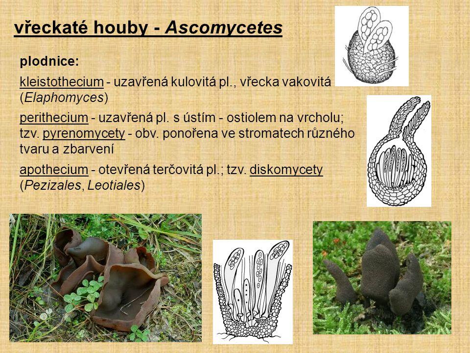 plodnice: kleistothecium - uzavřená kulovitá pl., vřecka vakovitá (Elaphomyces) perithecium - uzavřená pl. s ústím - ostiolem na vrcholu; tzv. pyrenom