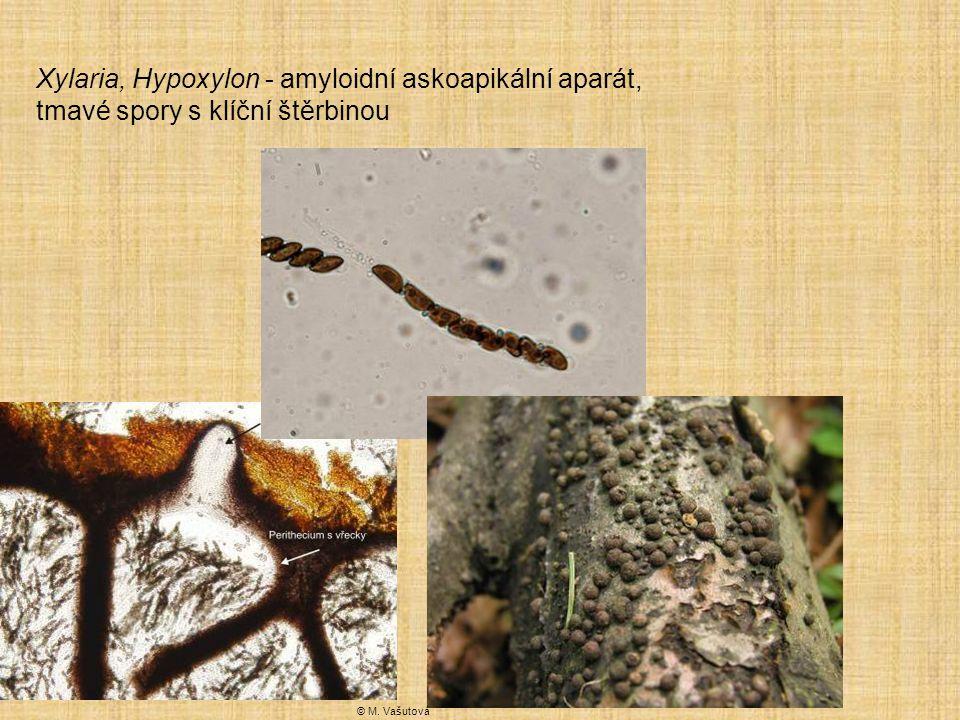 Xylaria, Hypoxylon - amyloidní askoapikální aparát, tmavé spory s klíční štěrbinou © M. Vašutová