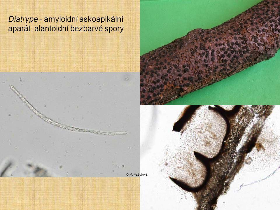 Diatrype - amyloidní askoapikální aparát, alantoidní bezbarvé spory © M. Vašutová