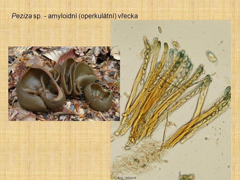 Peziza sp. - amyloidní (operkulátní) vřecka © M. Vašutová