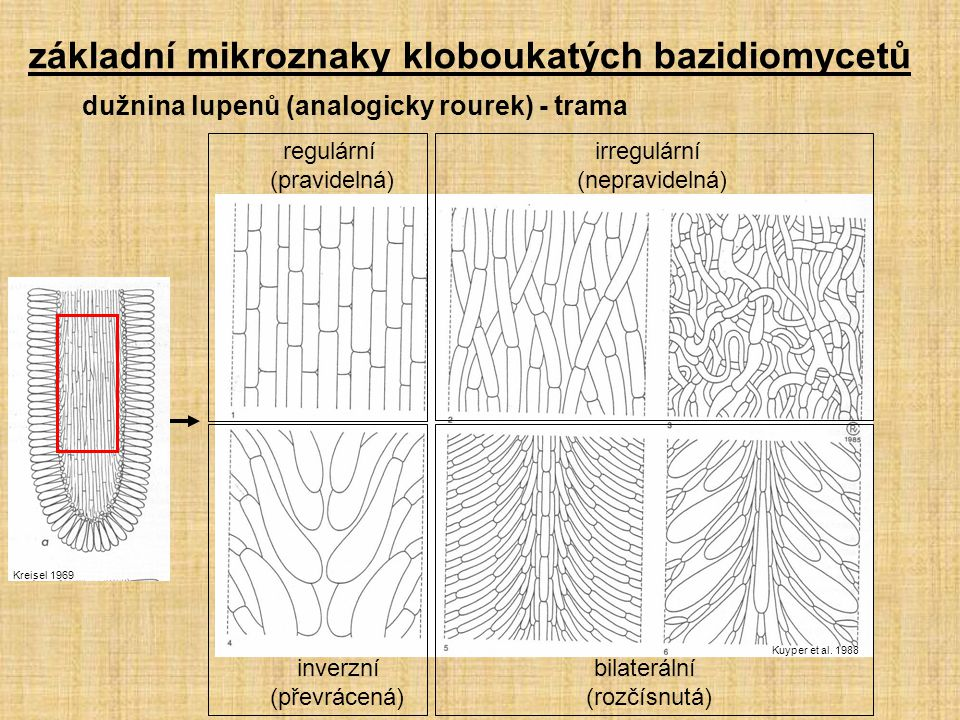 dužnina lupenů (analogicky rourek) - trama Kreisel 1969 Kuyper et al. 1988 regulární irregulární (pravidelná) (nepravidelná) inverzní bilaterální (pře