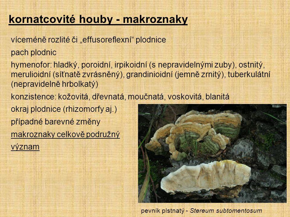 """kornatcovité houby - makroznaky víceméně rozlité či """"effusoreflexní plodnice pach plodnic hymenofor: hladký, poroidní, irpikoidní (s nepravidelnými zuby), ostnitý, merulioidní (síťnatě zvrásněný), grandinioidní (jemně zrnitý), tuberkulátní (nepravidelně hrbolkatý) konzistence: kožovitá, dřevnatá, moučnatá, voskovitá, blanitá okraj plodnice (rhizomorfy aj.) případné barevné změny makroznaky celkově podružný význam pevník plstnatý - Stereum subtomentosum"""