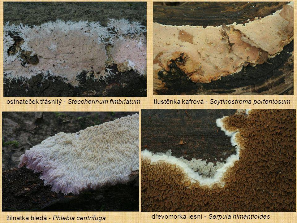 žilnatka bledá - Phlebia centrifuga dřevomorka lesní - Serpula himantioides ostnateček třásnitý - Steccherinum fimbriatumtlustěnka kafrová - Scytinost
