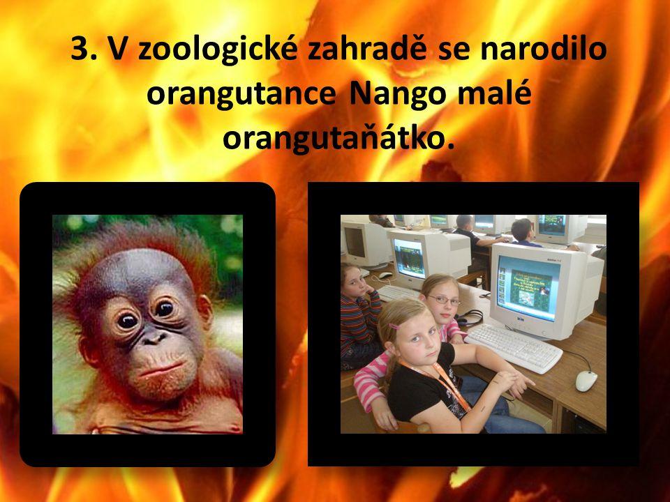3. V zoologické zahradě se narodilo orangutance Nango malé orangutaňátko.