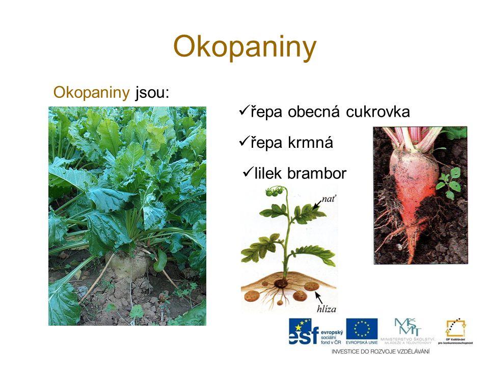 Okopaniny Okopaniny jsou: řepa obecná cukrovka řepa krmná lilek brambor