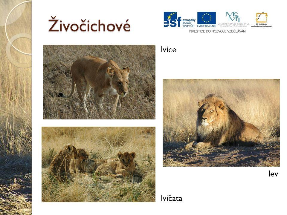 Živočichové lvice lvíčata lev