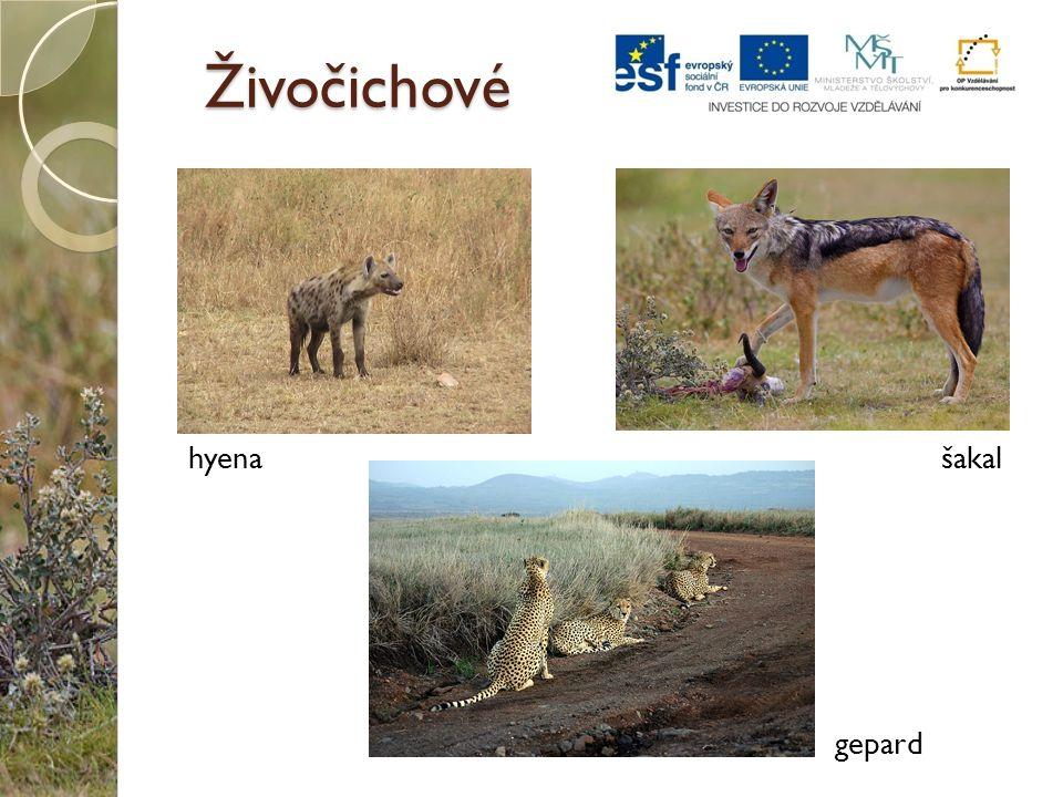 Živočichové hyenašakal gepard