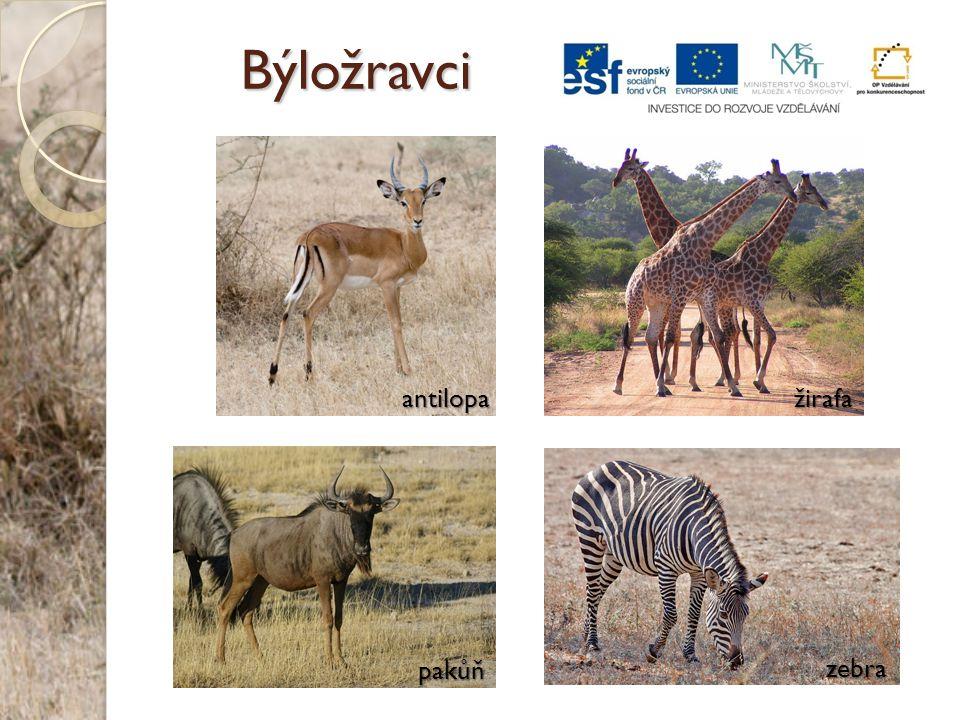 Býložravci pakůň zebra antilopažirafa