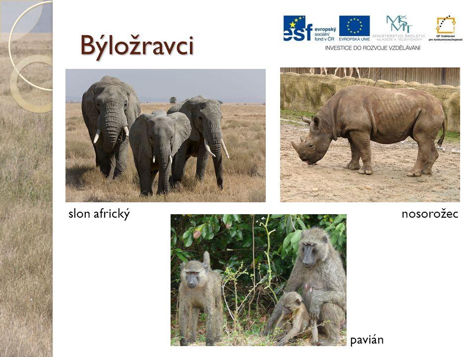 Býložravci nosorožecslon africký pavián