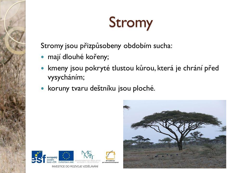 Stromy Stromy jsou přizpůsobeny obdobím sucha: mají dlouhé kořeny; kmeny jsou pokryté tlustou kůrou, která je chrání před vysycháním; koruny tvaru deš