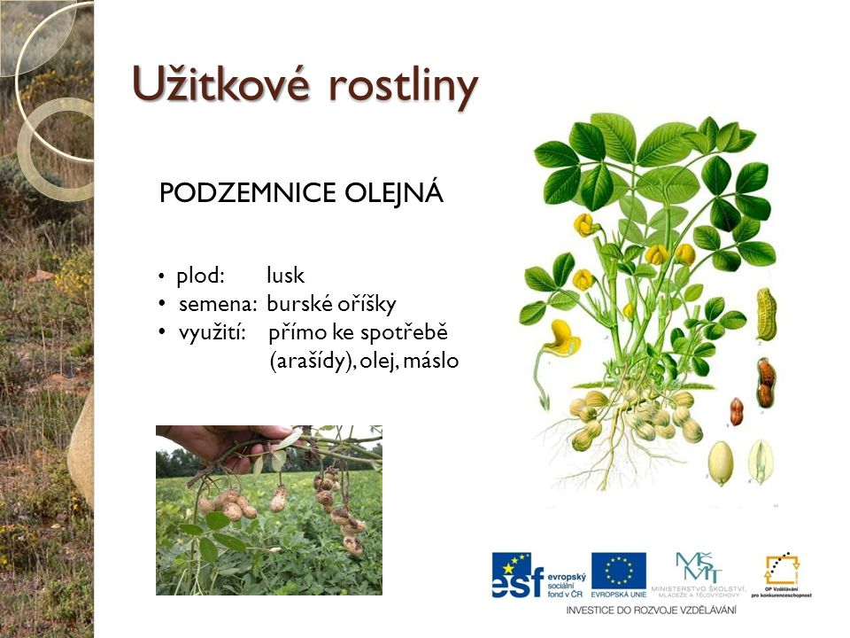 Užitkové rostliny PODZEMNICE OLEJNÁ plod: lusk semena: burské oříšky využití: přímo ke spotřebě (arašídy), olej, máslo