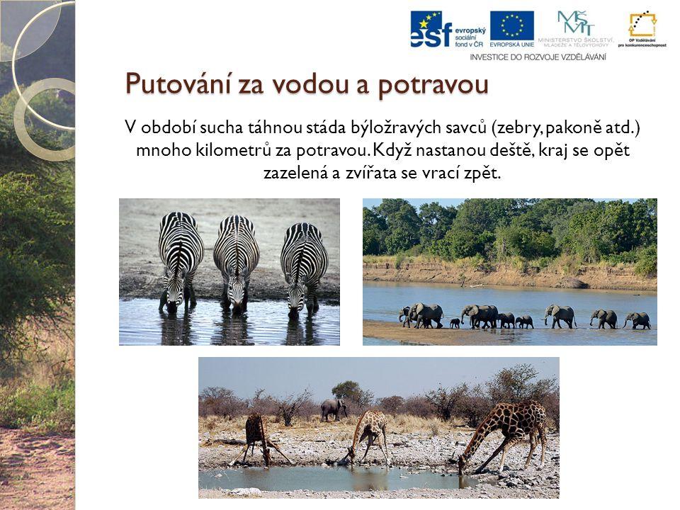 Putování za vodou a potravou V období sucha táhnou stáda býložravých savců (zebry, pakoně atd.) mnoho kilometrů za potravou. Když nastanou deště, kraj